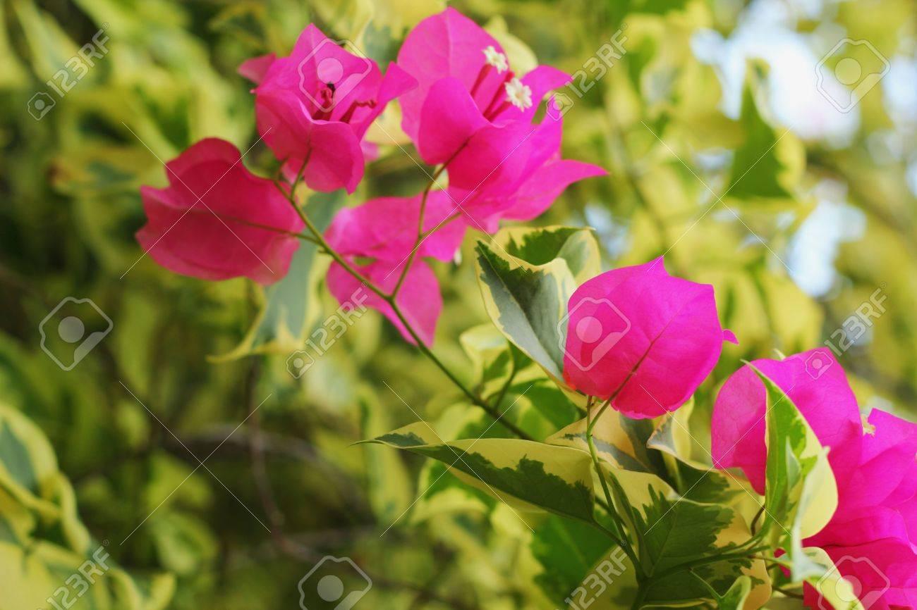 Bougainvillea flower pink flowers stock photo picture and royalty bougainvillea flower pink flowers stock photo 19643904 mightylinksfo
