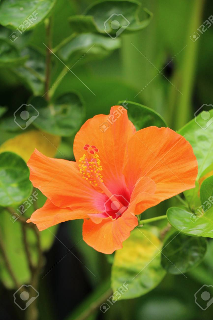 Hibiscus flower at beautiful in the nature stock photo picture and hibiscus flower at beautiful in the nature stock photo 82773339 izmirmasajfo