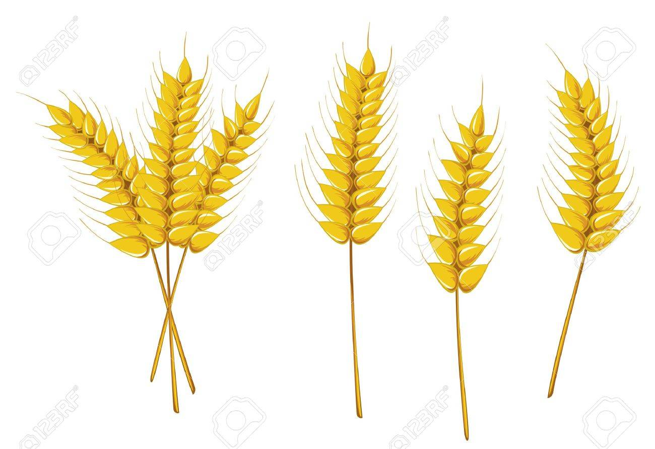 Ripe wheat isolated on white as an agriculture concept Stock Vector - 6009699