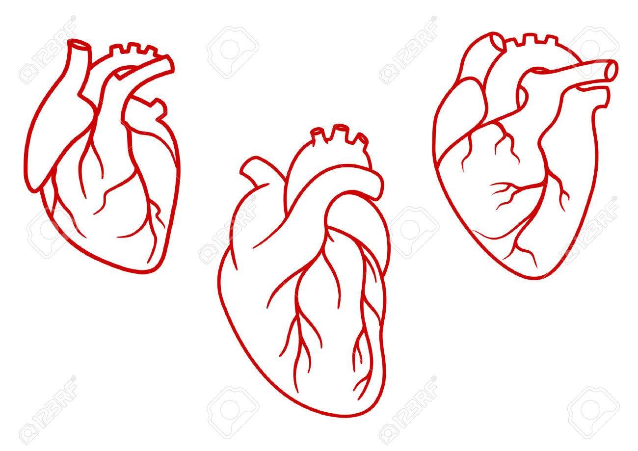 Red Herzen Der Menschen Im Umriss-Stil Mit Aorta, Venen Und Arterien ...