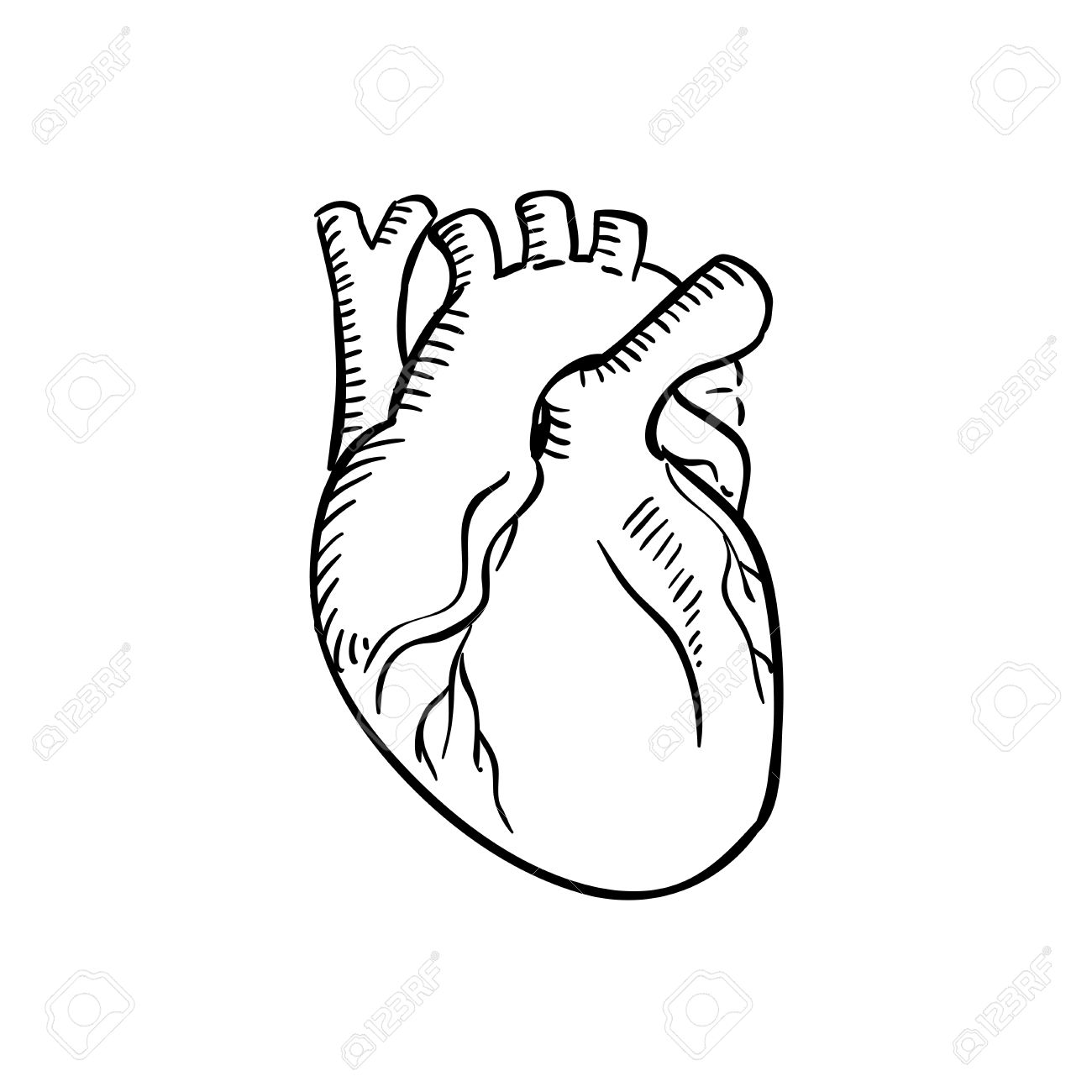 Human Heart Outline Sketch. Isolated Anatomical Detailed Organ ...
