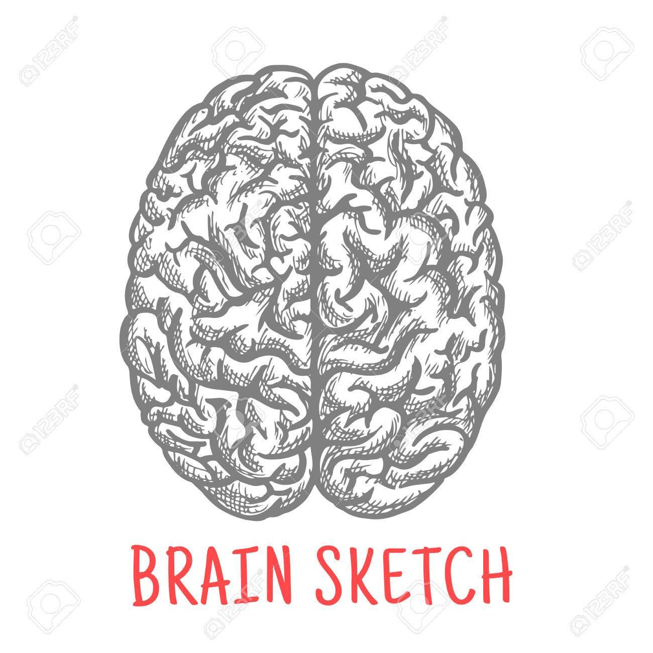 Skizze Des Menschlichen Gehirns Für Medizin, Anatomie Oder Kreatives ...