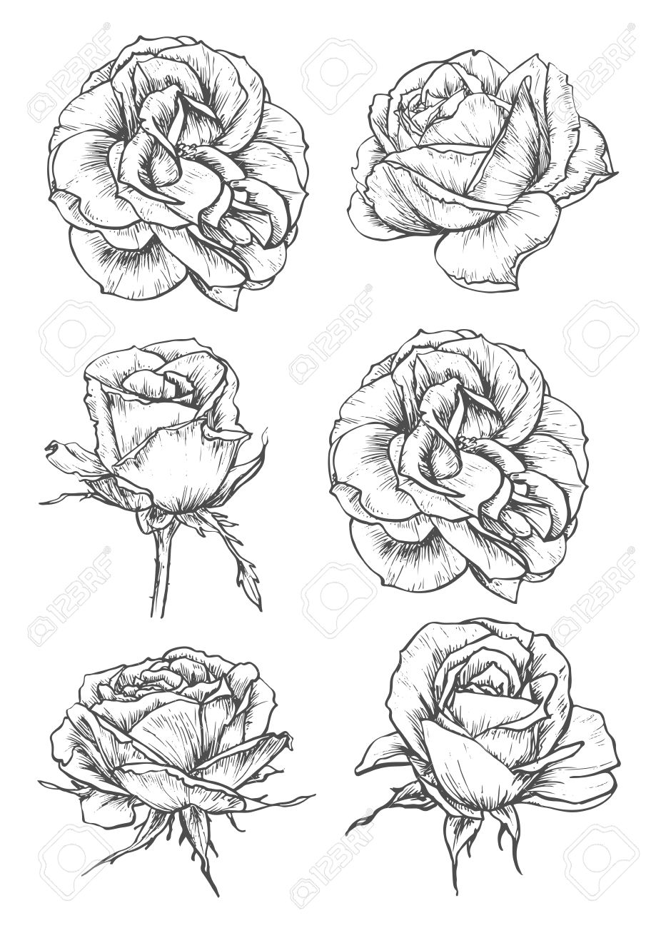 Blooming Rose Sketches Of Luxurious Flower And Tight Bud With