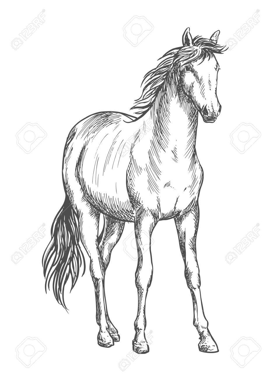Beautiful White Horse Standing Pencil Sketch Portrait Of Stallion Royalty Free Cliparts Vectors And Stock Illustration Image 62637513