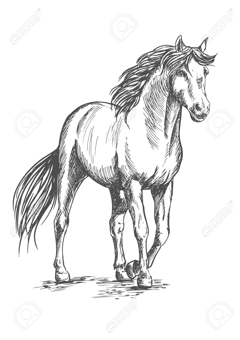 White Horse Standing And Resting With Front Hoof Lifted Up Pencil Royalty Free Cliparts Vectors And Stock Illustration Image 64879979