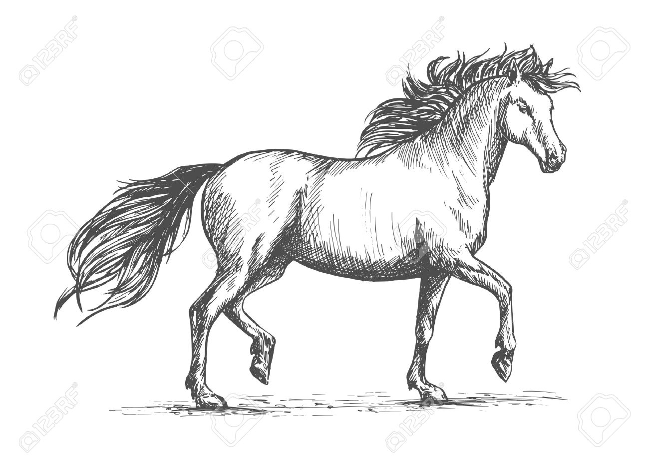 Arabian Horse Sketch Of Galloping Purebred Mare Horse With Raised Royalty Free Cliparts Vectors And Stock Illustration Image 64242566
