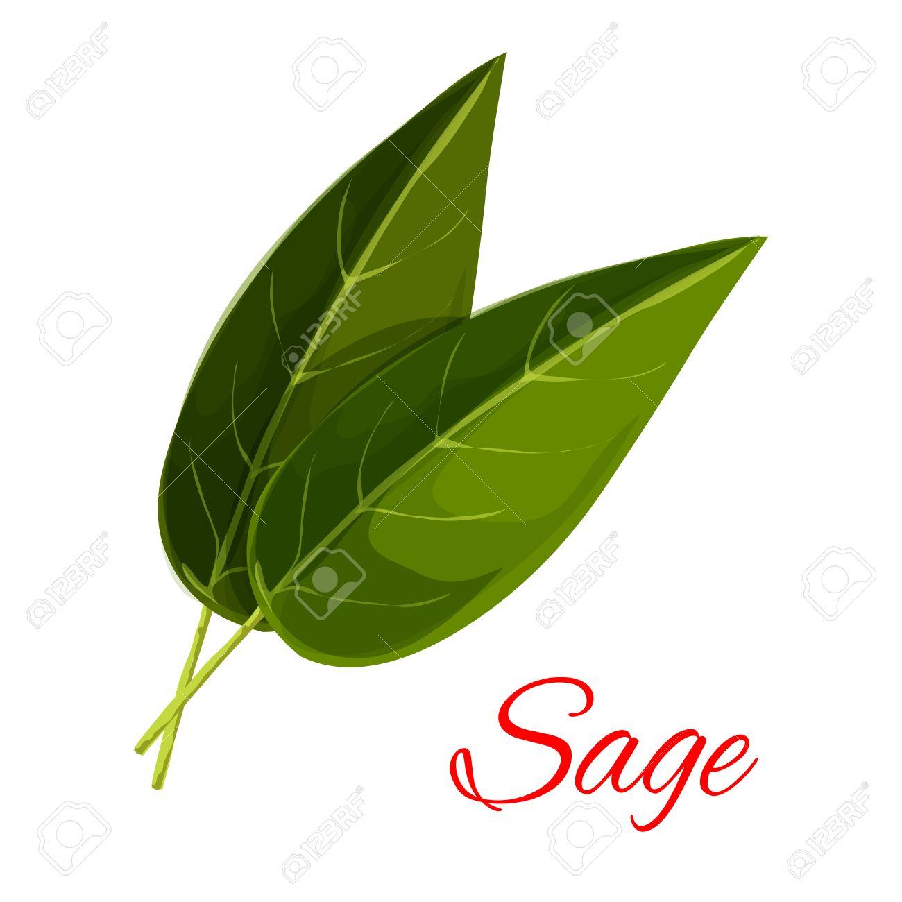 Salvia Cocina | Hojas De Salvia Vector Aislado Aromatico Icono De La Especia Hierba