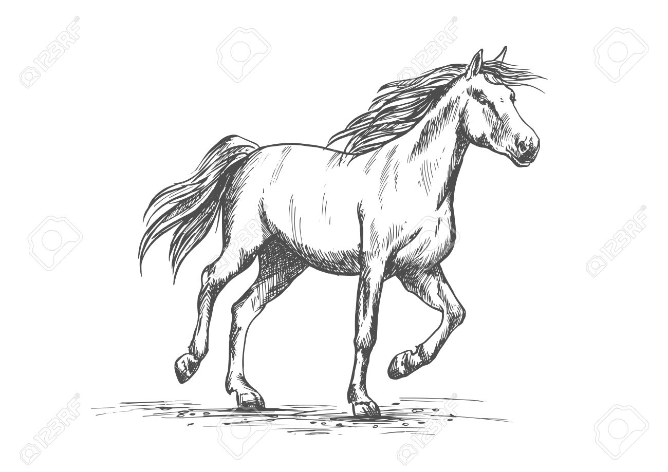 Arabian Horse Sketch Of Running Racehorse Purebred Mare Horse Royalty Free Cliparts Vectors And Stock Illustration Image 67686806