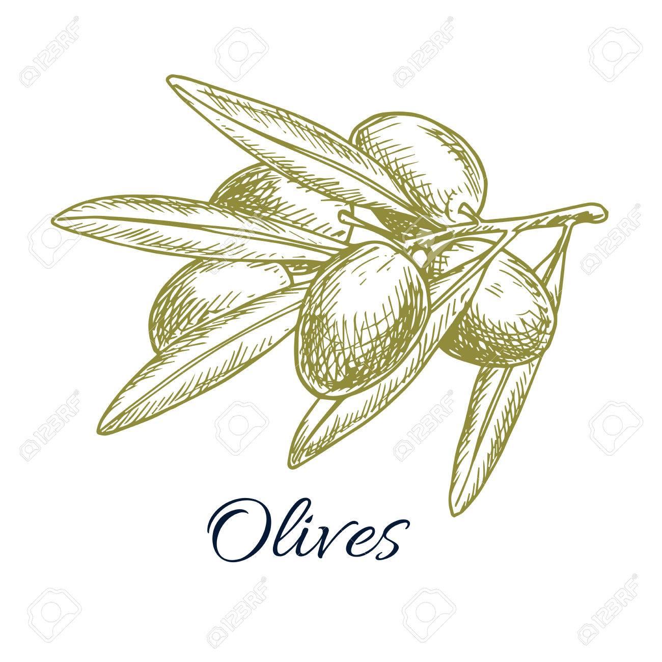 Ganz und zu Extrem Olive Haufen Skizze Symbol Der Grünen Oliven Pflanze Ast. Vector @UW_63