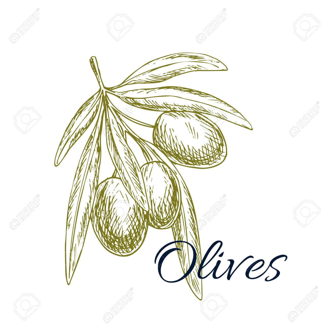 Olives sketch icon vector isolated green olive plant tree branch olives sketch icon vector isolated green olive plant tree branch design for for olive oil label healthy vegetarian and vegan vegetable food menu symbol buycottarizona Choice Image