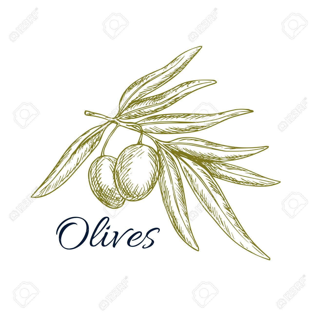 Sketch of olive tree branch with green olives bunch vector isolated sketch of olive tree branch with green olives bunch vector isolated icon or symbol for buycottarizona Choice Image