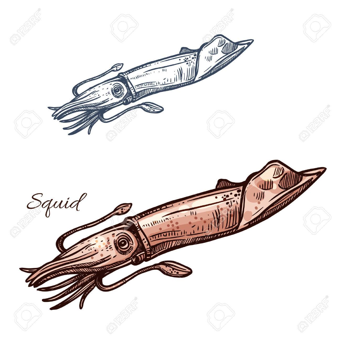 Squid sketch vector icon. Calamari or ocean cuttlefish mollusk species. Isolated symbol for seafood restaurant sign or emblem, fishing sport club or fishery industry, sea food and fish market or shop - 72313369