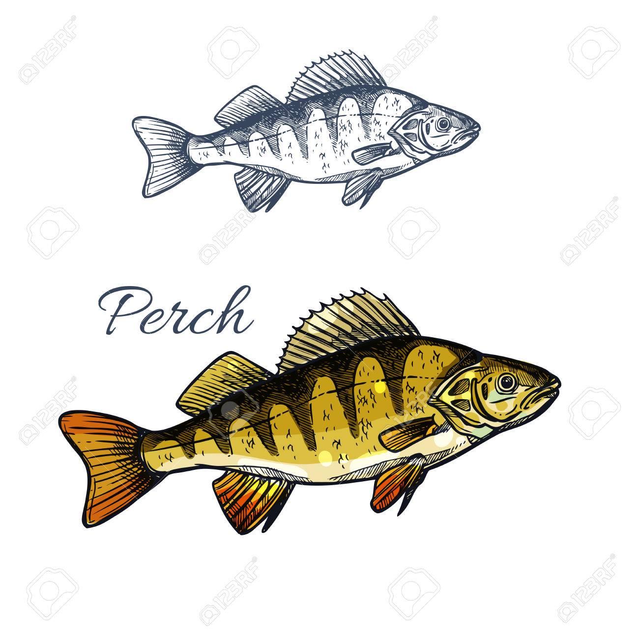 perch fish isolated sketch of freshwater predator royalty fri rh se 123rf com Perch Fish Clip Art Quality Pencil Drawings of Bass Fish
