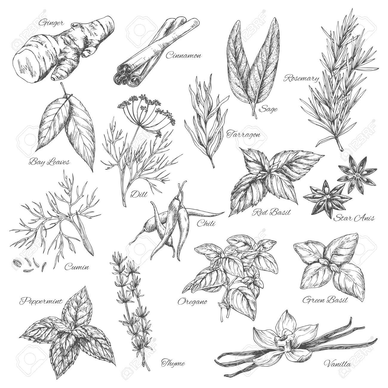 Vector sketch spices and herb plants flavorings - 75095023