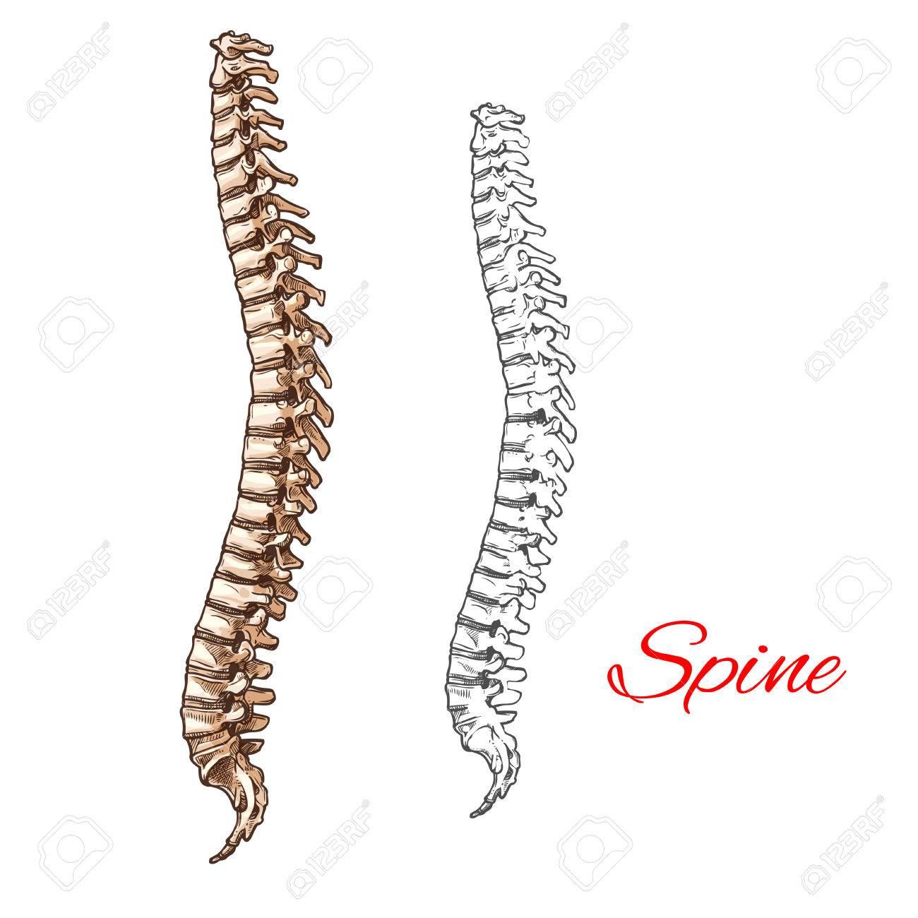 Human Spine Bones And Backbone Joints Vector Sketch Body Anatomy