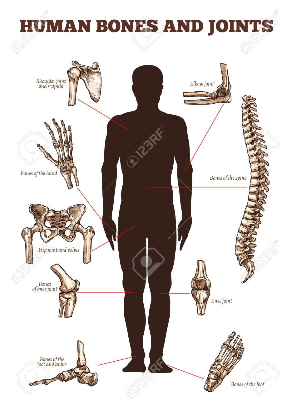 Human Bones And Joints Vector Medical Anatomy Poster With Skeletal ...