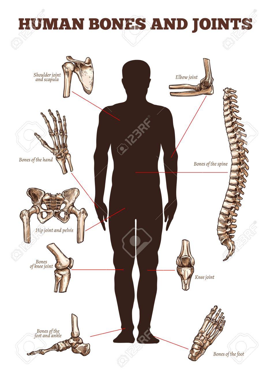 Menschliche Knochen Und Gelenke Vektor Medizinische Anatomie Poster ...