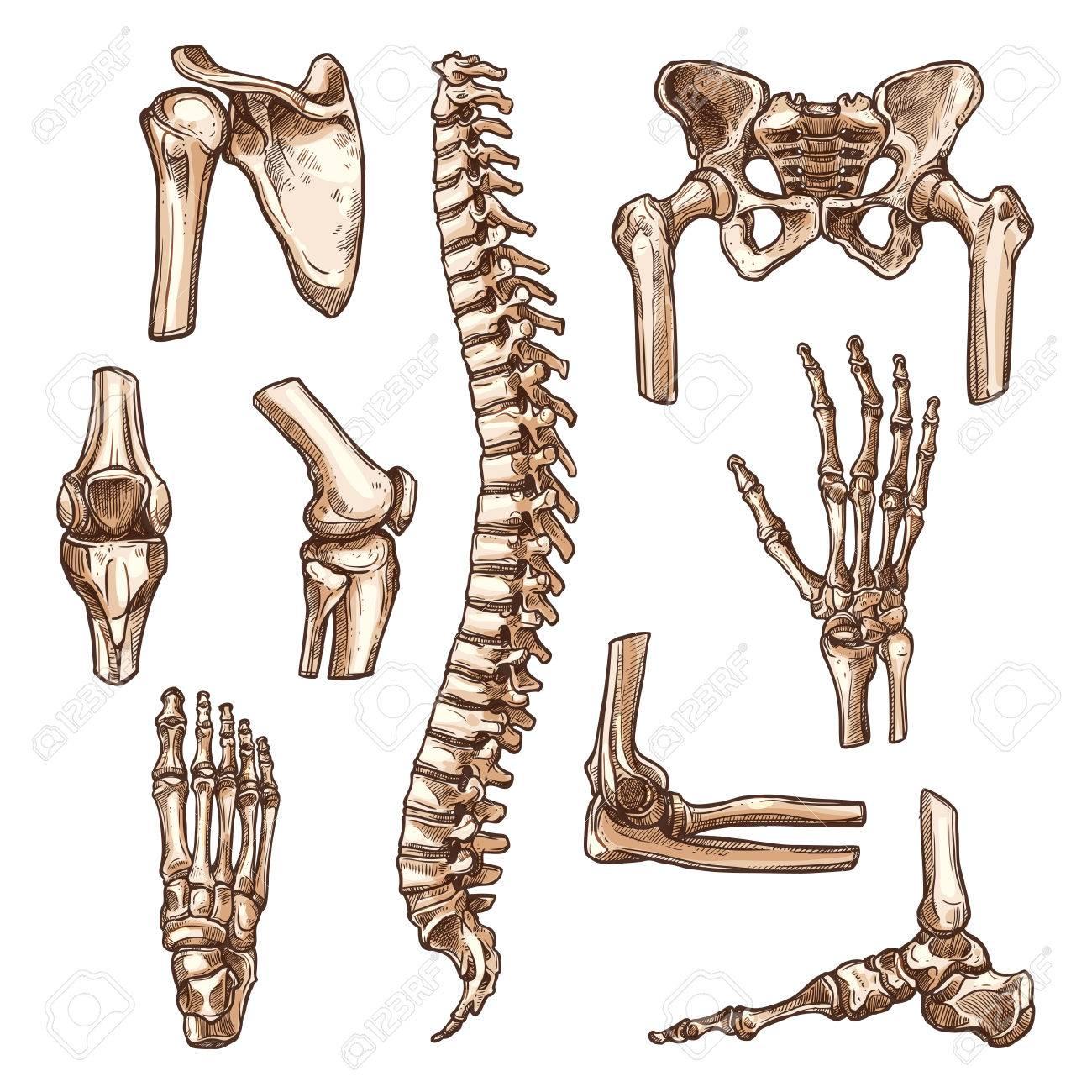 Knochen Und Gelenk Der Menschlichen Skelett Skizze Gesetzt. Hand ...