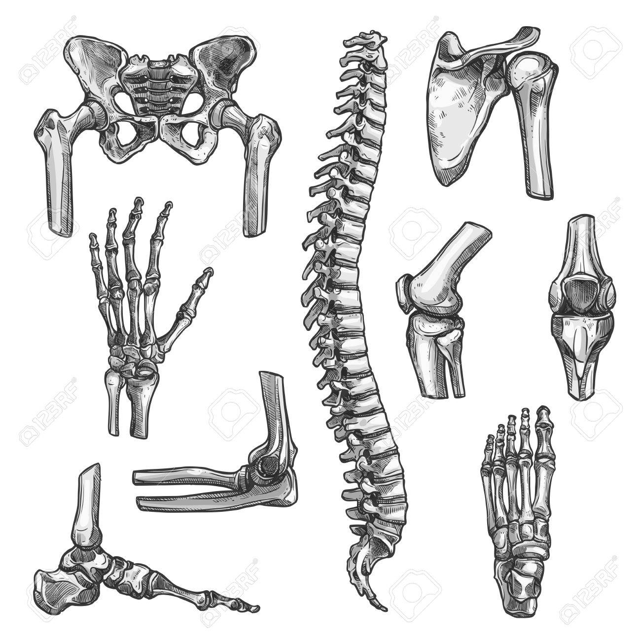 Bone and joints sketches set. Human skeleton hand, knee and shoulder, hip, foot, spine, leg and arm, finger, elbow, pelvis, thorax, ankle, wrist icon for orthopedics and rheumatology medicine design - 85567817