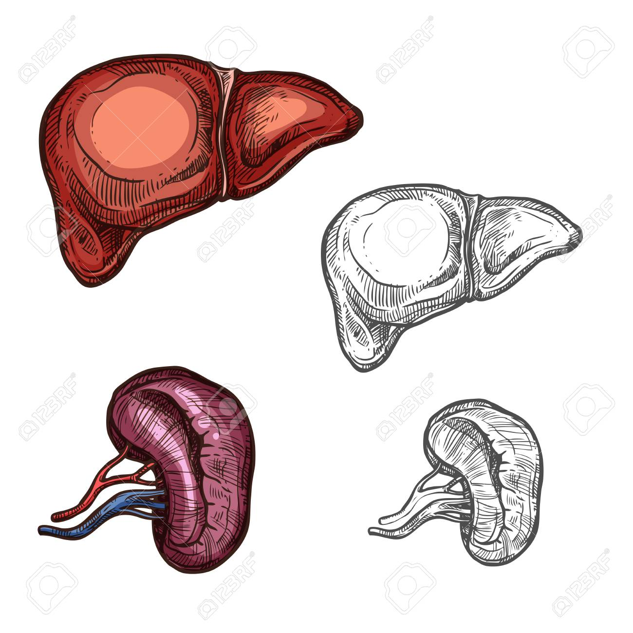 Liver And Kidney Sketch Icons Of Human Organs Vector Isolated