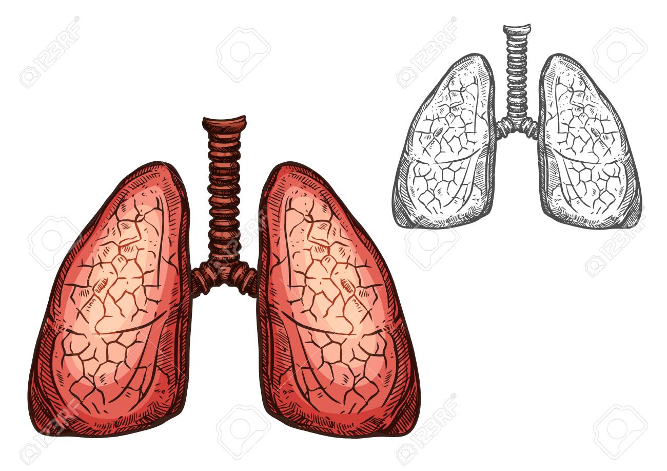 Lung Organ Of Human Anatomy Isolated Sketch Of Respiratory System ...