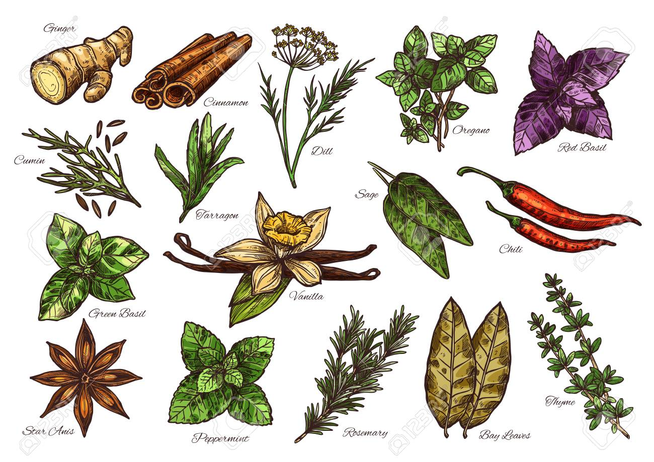 Spices and herbs sketch of fresh condiment with their corresponding names - 101089269