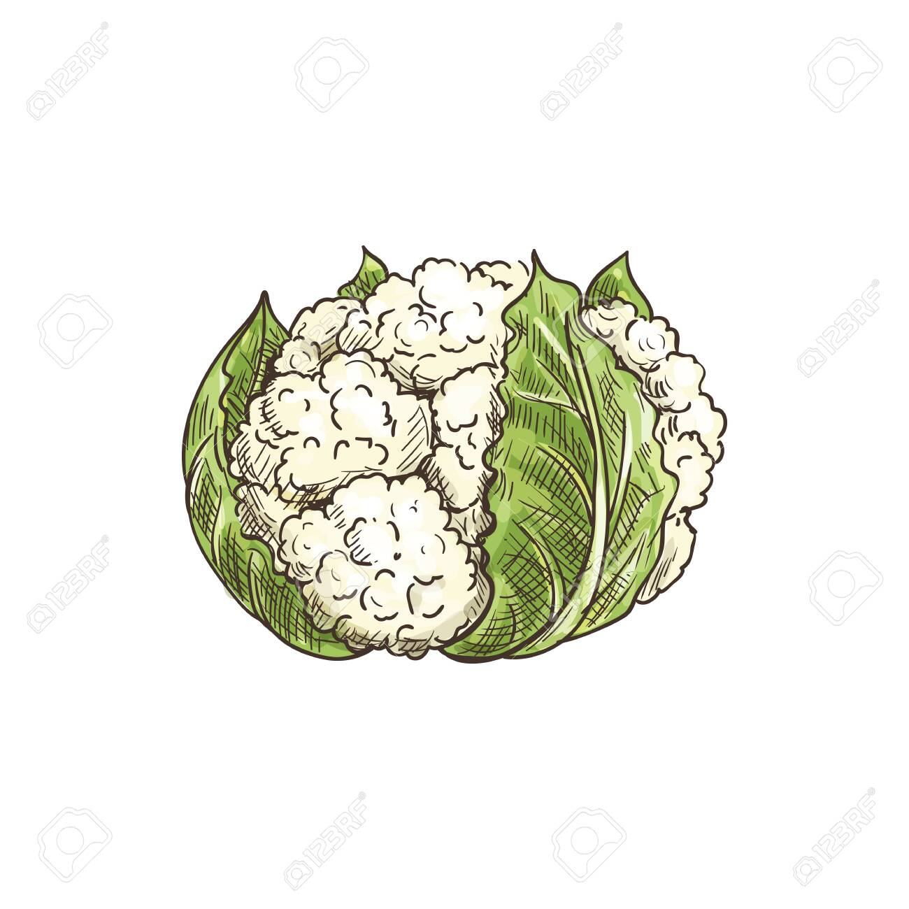Vegetable cauliflower isolated leafy cabbage. Vector white flower buds in cabbage head - 137233806