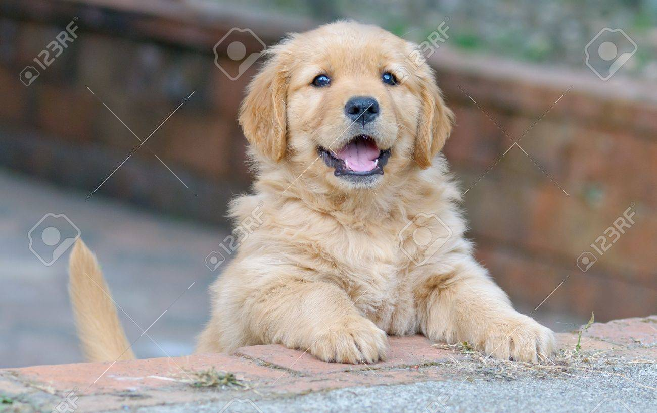 Cute Golden Retriever Puppy Stock Photo Picture And Royalty Free