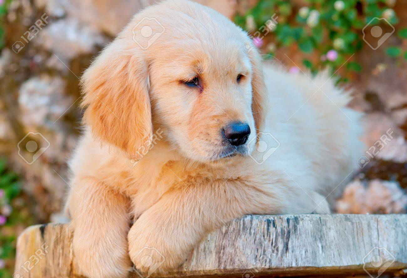 Cute Golden Retriever Puppy Resting Table Stock Picture
