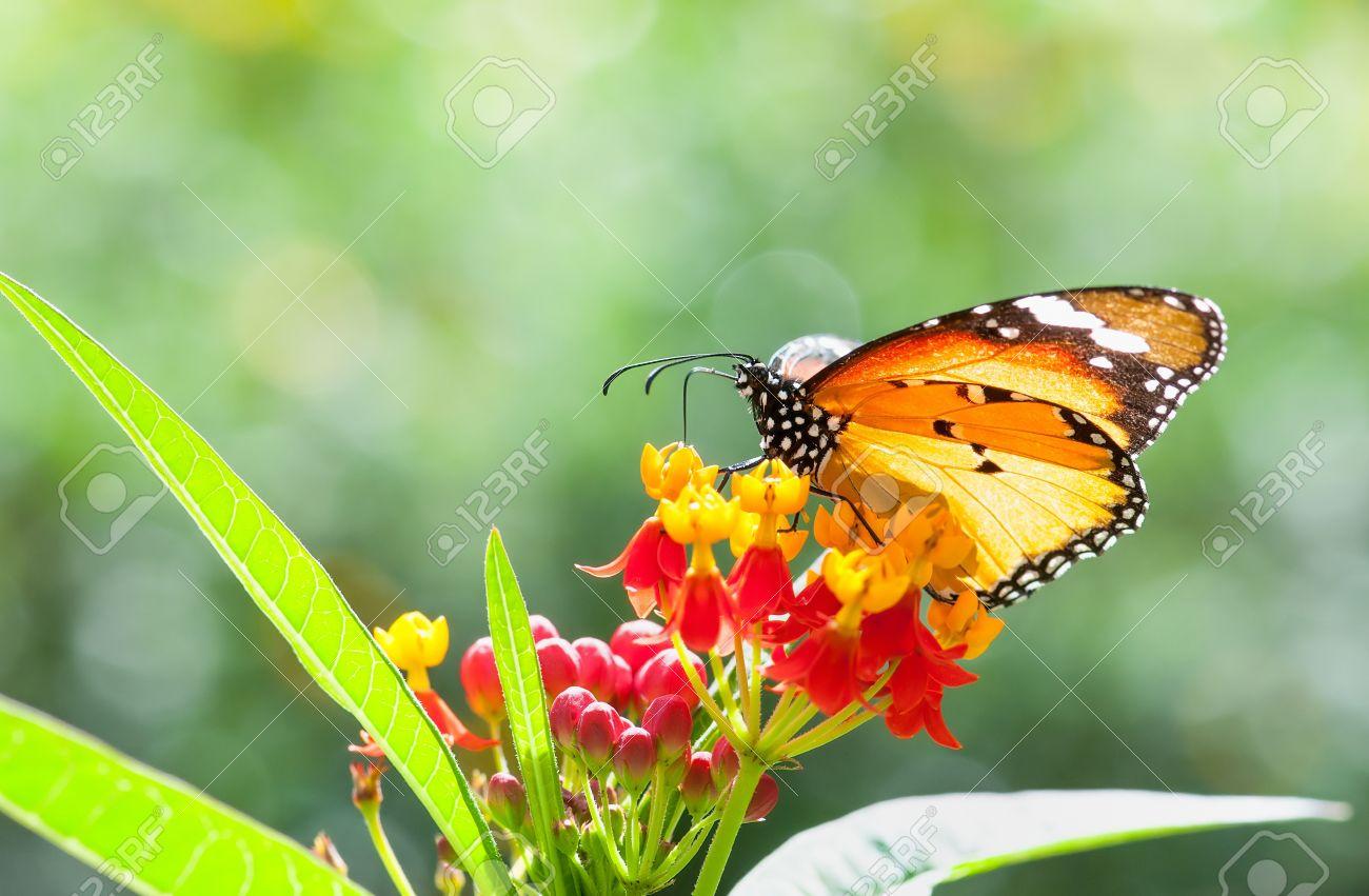 mariposa monarca recolección de néctar de una flor hermosa fotos