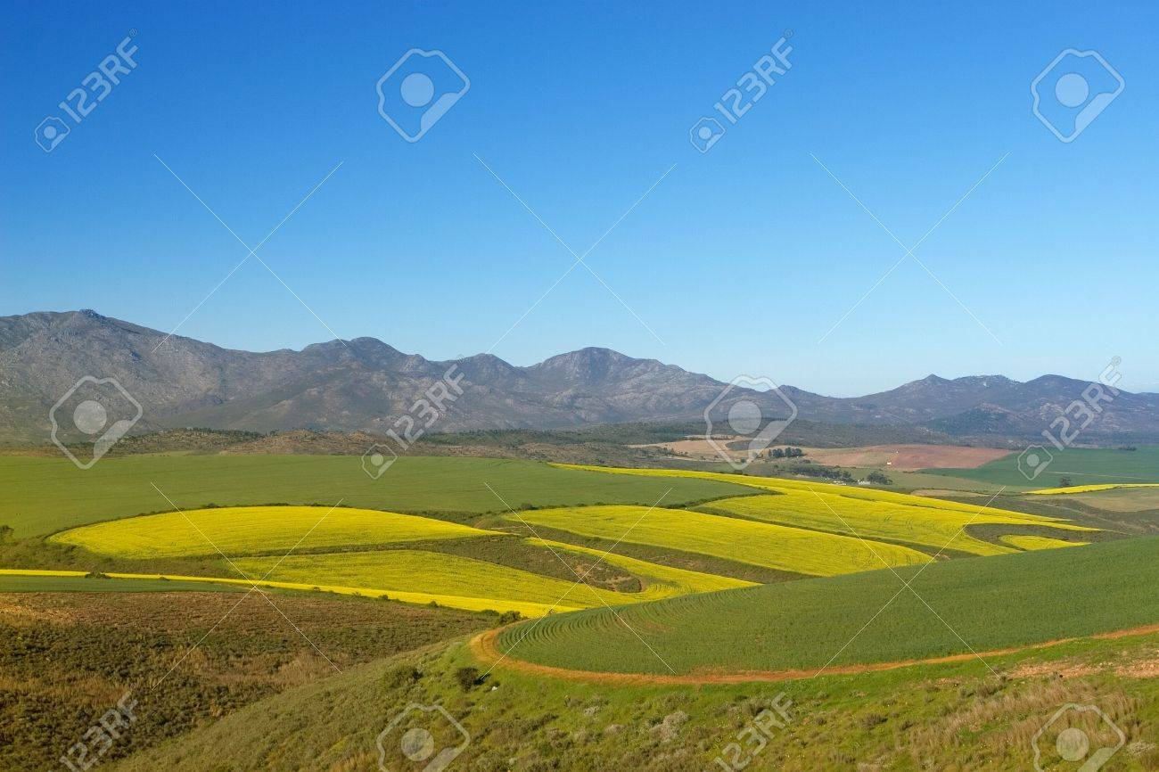Field of Flowers - Western Cape, South Africa Stock Photo - 241627