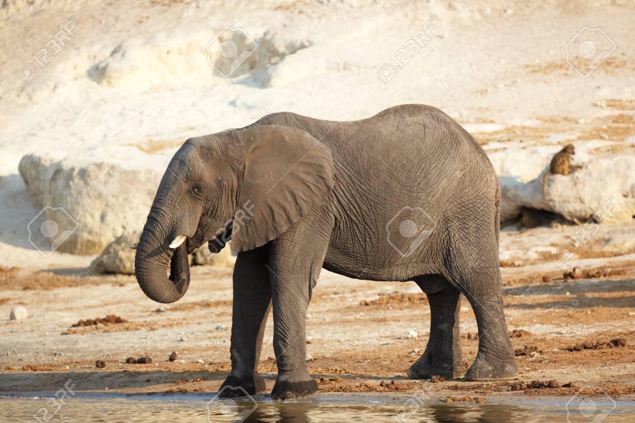 African elephant (Loxodonta Africana) on the banks of the Chobe River in Botswana drinking water and playing in the mud Stock Photo - 11706088