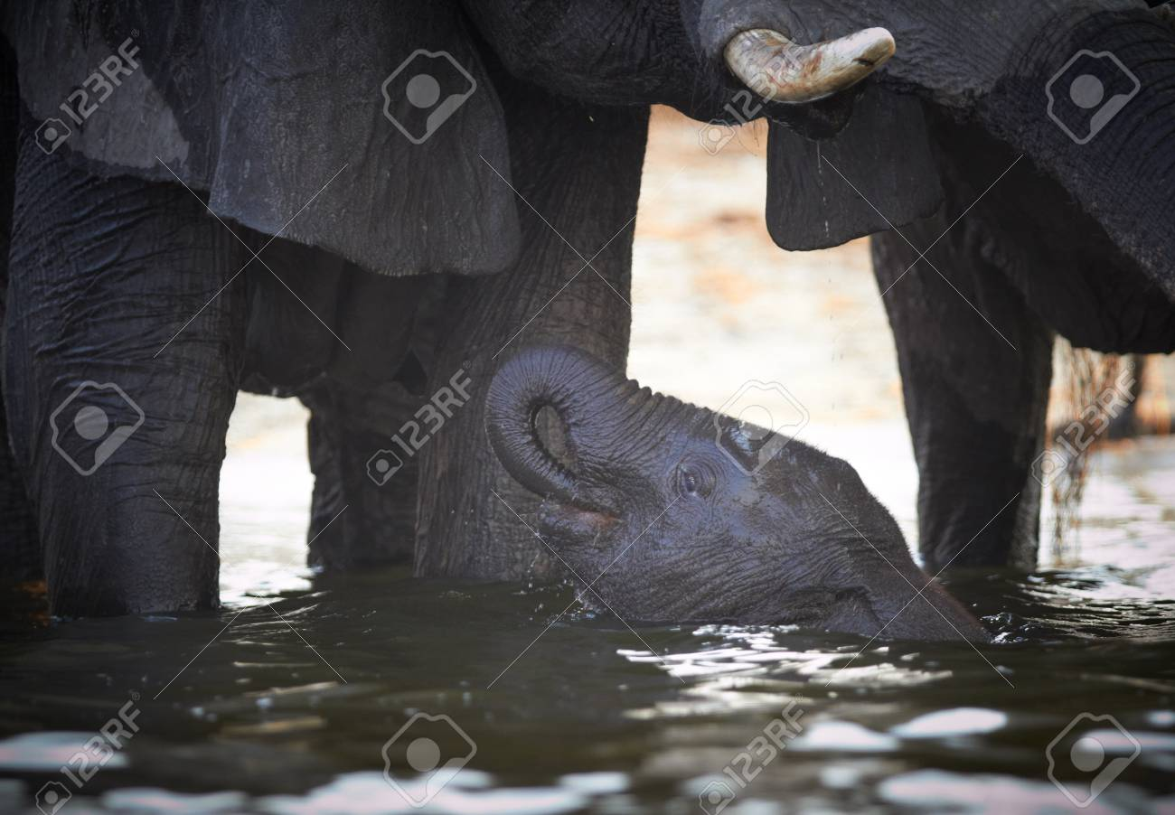 A herd of African elephants (Loxodonta Africana) on the banks of the Chobe River in Botswana drinking water, with juveniles and a calf Stock Photo - 11705923