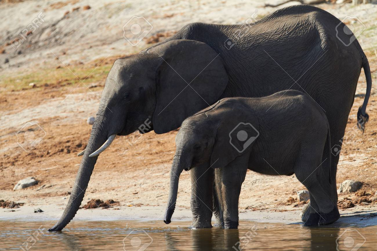 A herd of African elephants  Loxodonta Africana  on the banks of the Chobe River in Botswana drinking water Stock Photo - 13872225