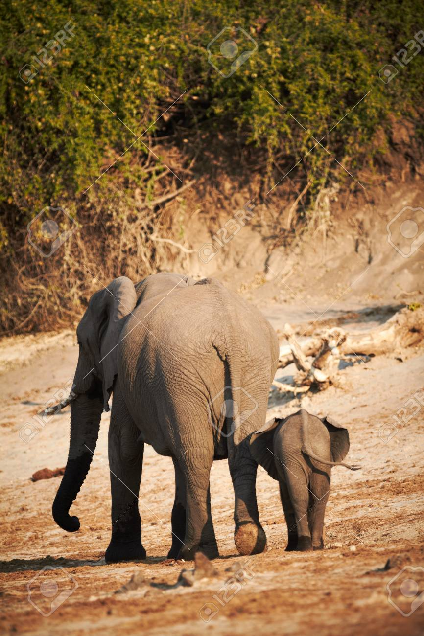 A herd of African elephants  Loxodonta Africana  on the banks of the Chobe River in Botswana drinking water, with juveniles and a calf Stock Photo - 14236028