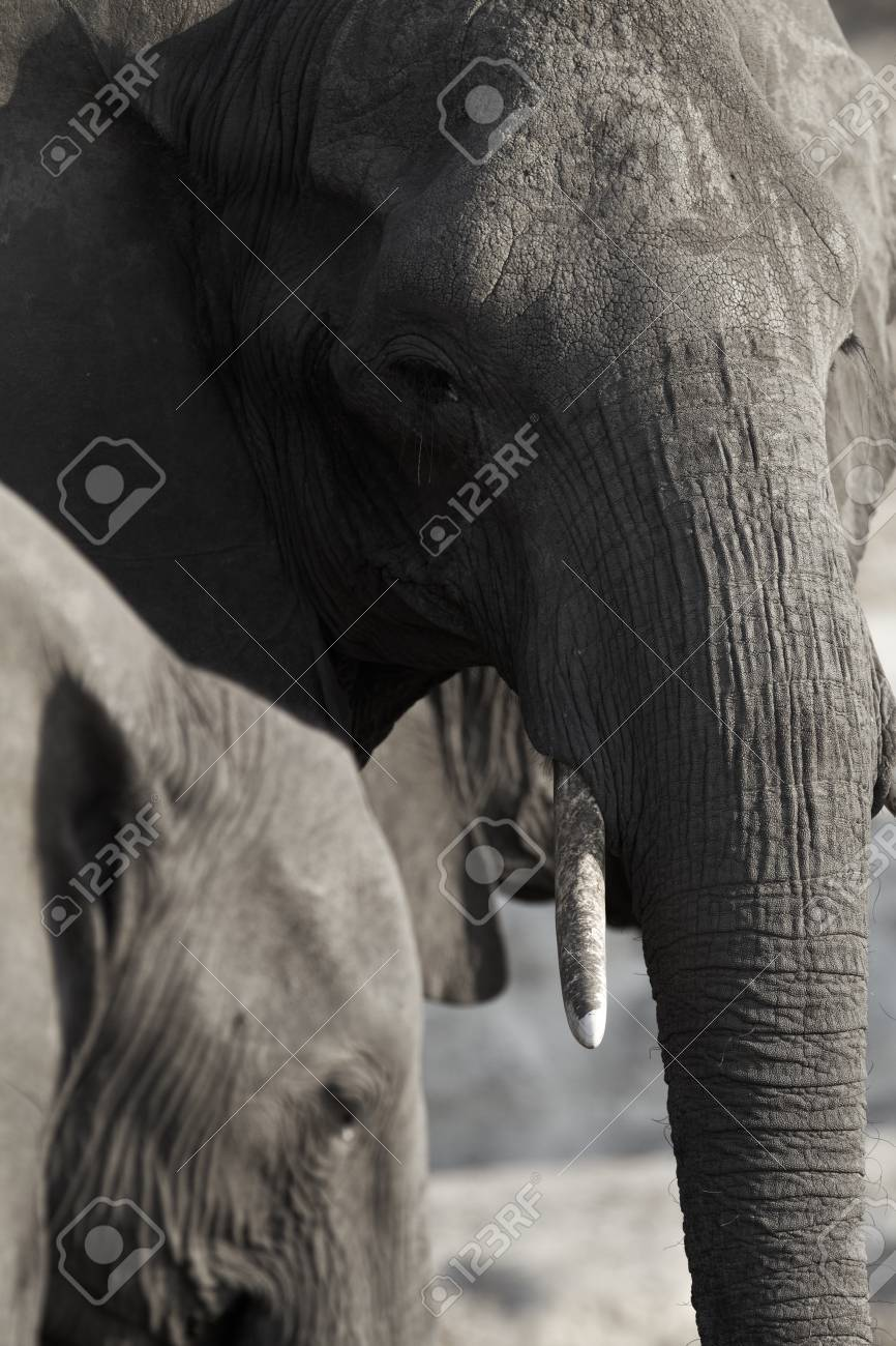 A herd of African elephants  Loxodonta Africana  on the banks of the Chobe River in Botswana drinking water Stock Photo - 14236029