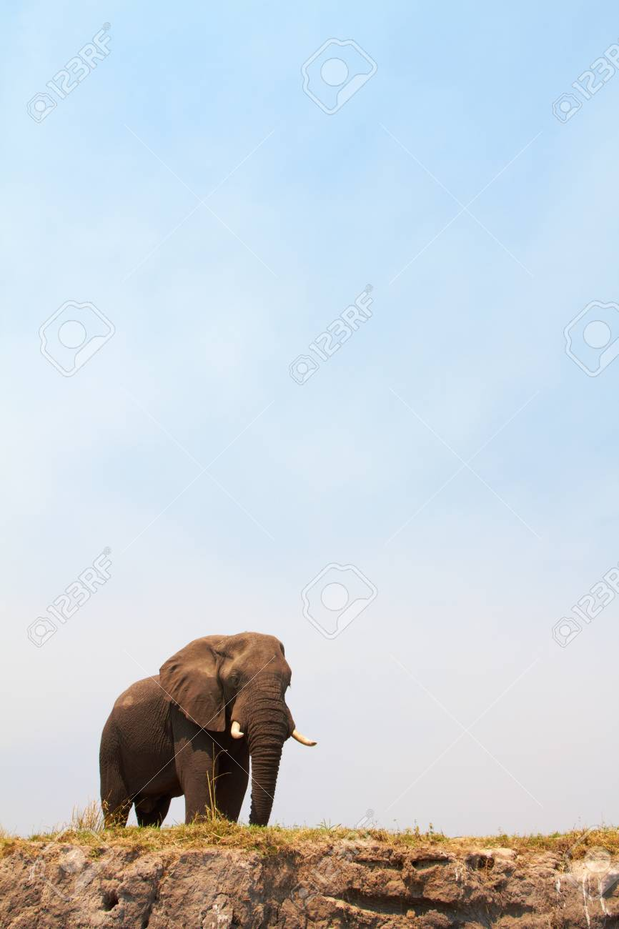 Large African elephant  Loxodonta Africana  on the banks of the Chobe River in Botswana drinking water and playing in the mud Stock Photo - 14236018