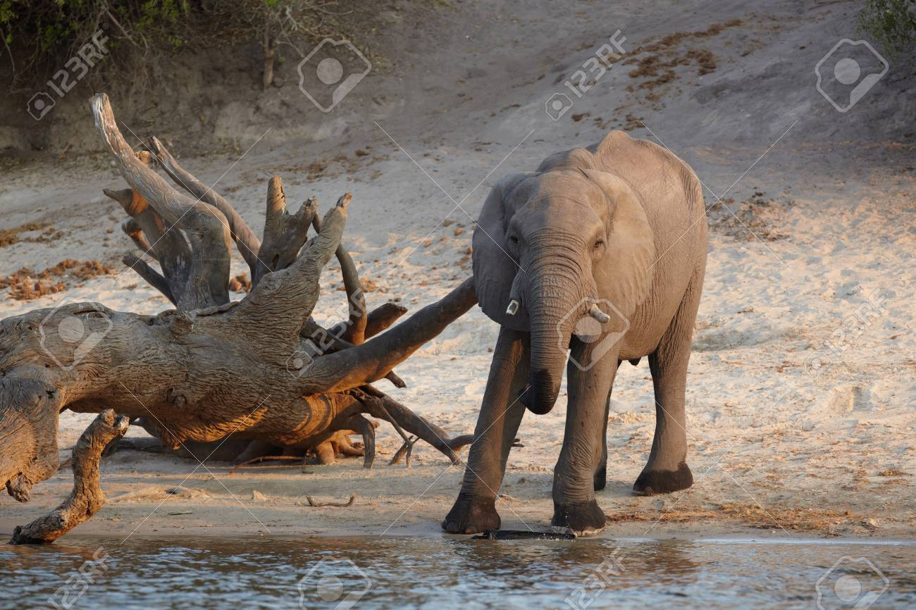 African elephant  Loxodonta Africana  on the banks of the Chobe River in Botswana drinking water and playing in the mud Stock Photo - 14236033