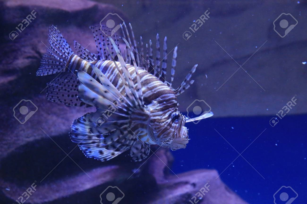 lion fish Stock Photo - 16961089