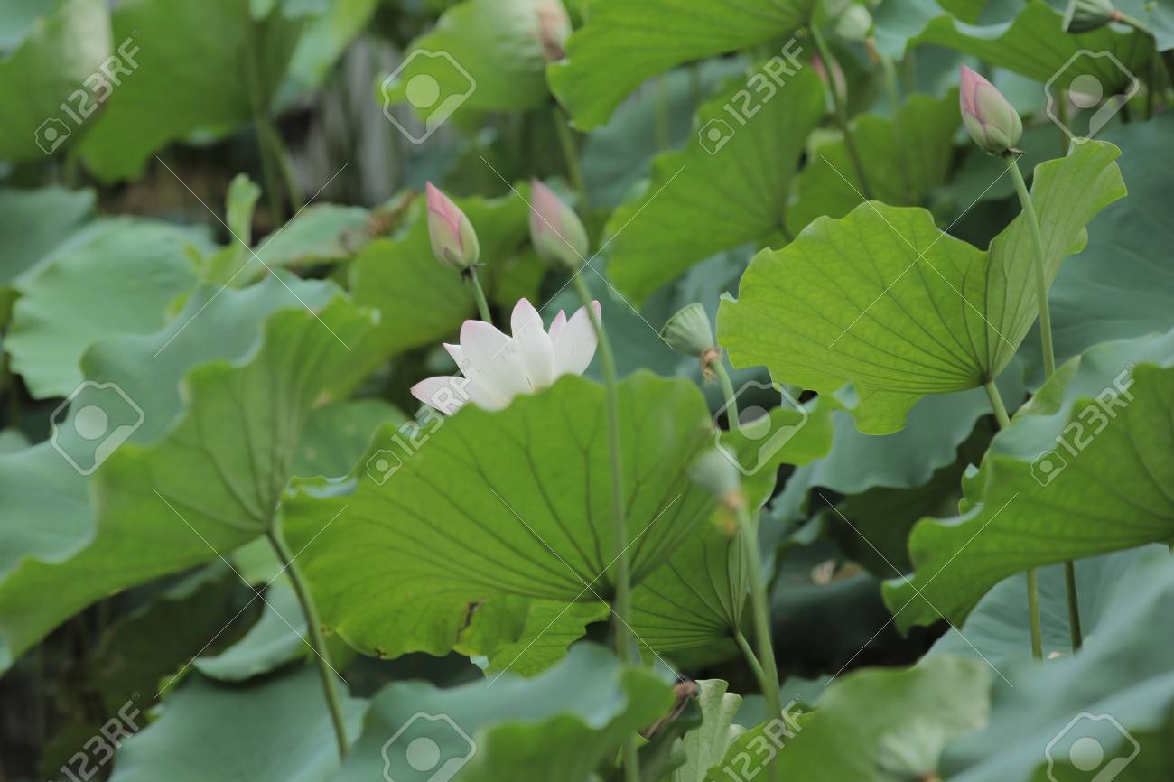 Lotus flower stock photo picture and royalty free image image lotus flower stock photo 29412122 izmirmasajfo