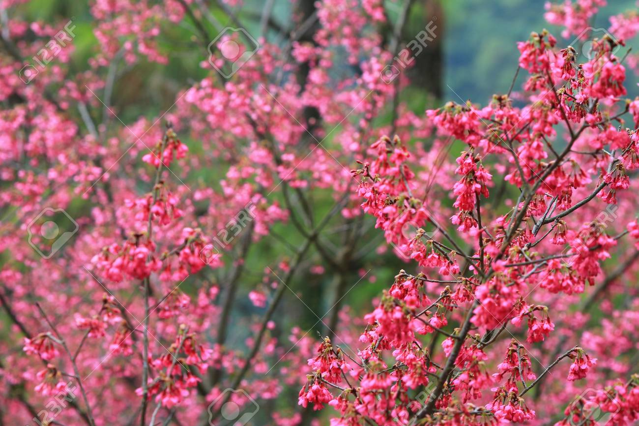 Pink Blossom Sukura Flowers On A Spring Day Stock Photo Picture And