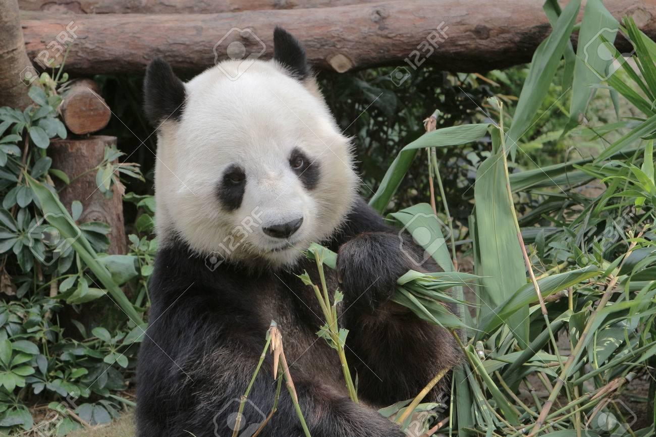 Grosse Panda Essen Bambus Blatter In Hong Kong Ocean Park Lizenzfreie