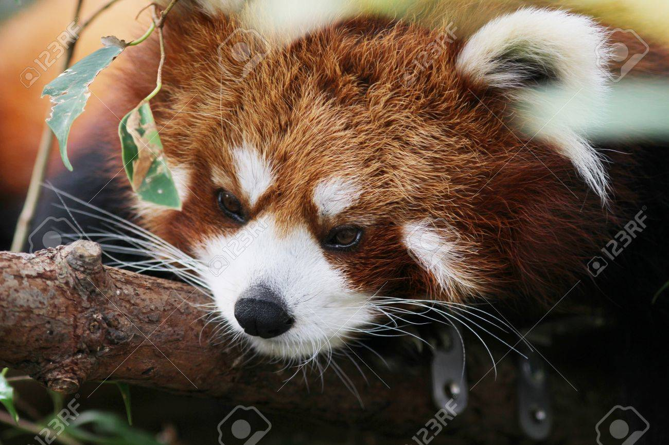 Giant Panda Stock Photo The Little Red Panda Endangered Species Ideastream The Little Red Panda Endangered Species Stock Photo Picture And