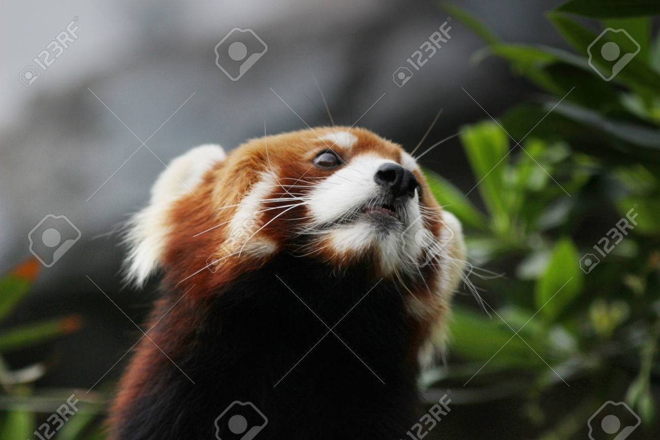 Image of: Ailurus Fulgens Stock Photo The Little Red Panda Endangered Species 123rfcom The Little Red Panda Endangered Species Stock Photo Picture And