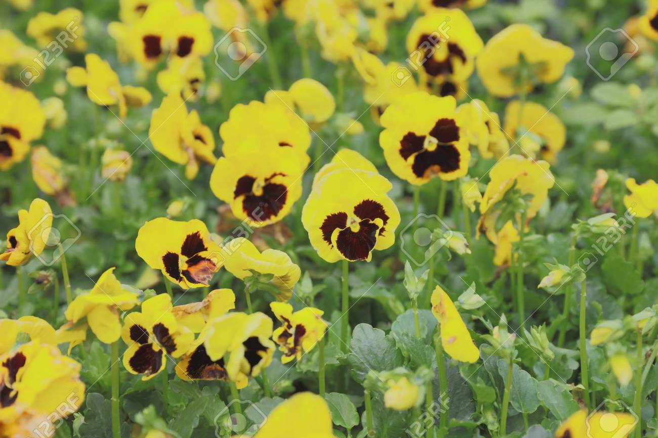 Defocus Yellow Pansy Flowers In Spring On Green Field Stock Photo