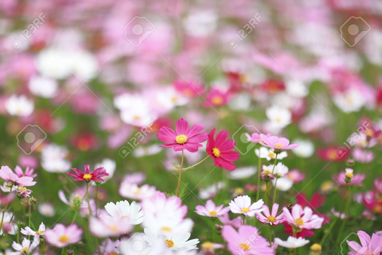 Cosmos Bipinnatus Color Flowers Garden In Spring Stock Photo