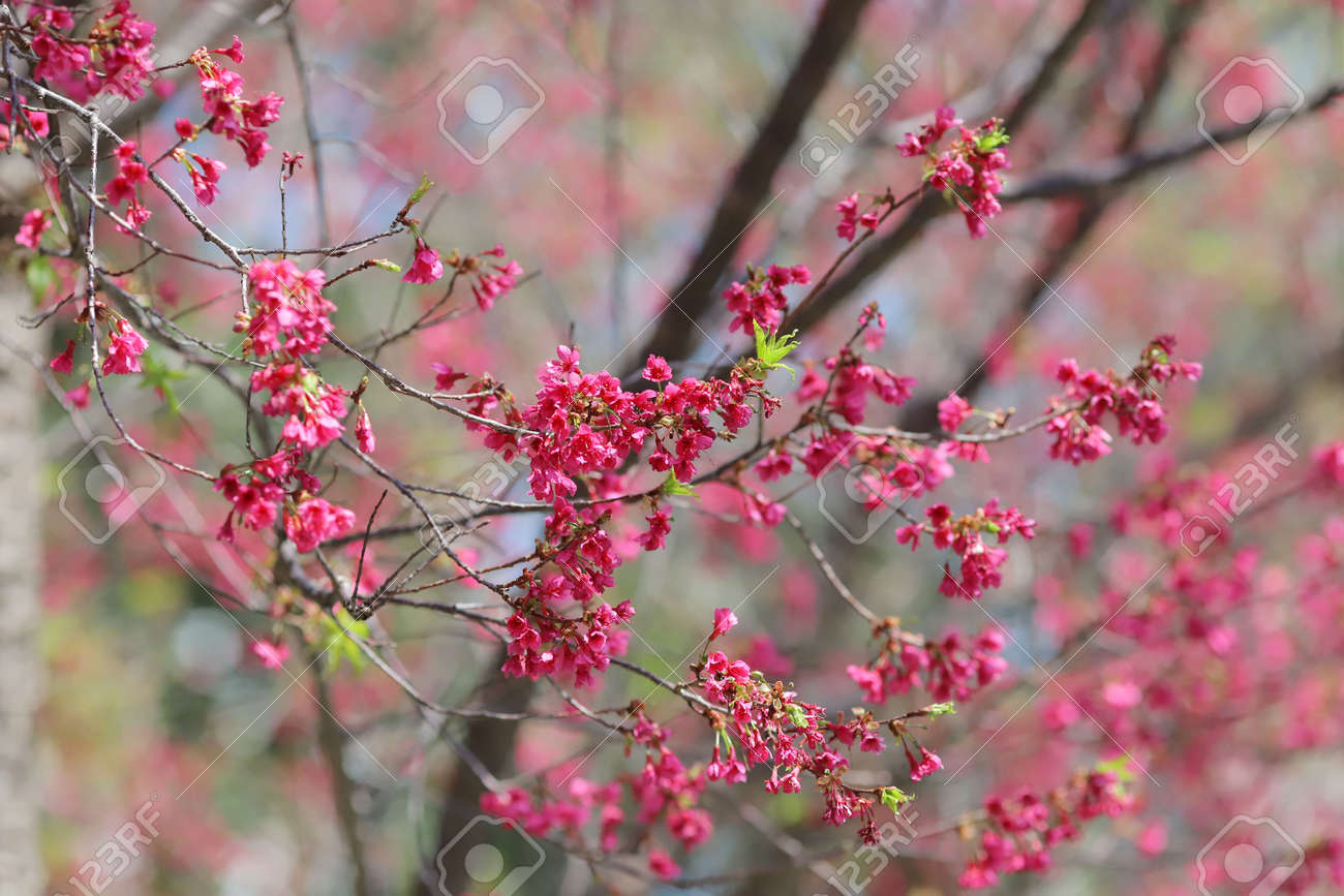 Pink cherry blossoms, Blooming Taiwan Cherry Blossoms - 166541925