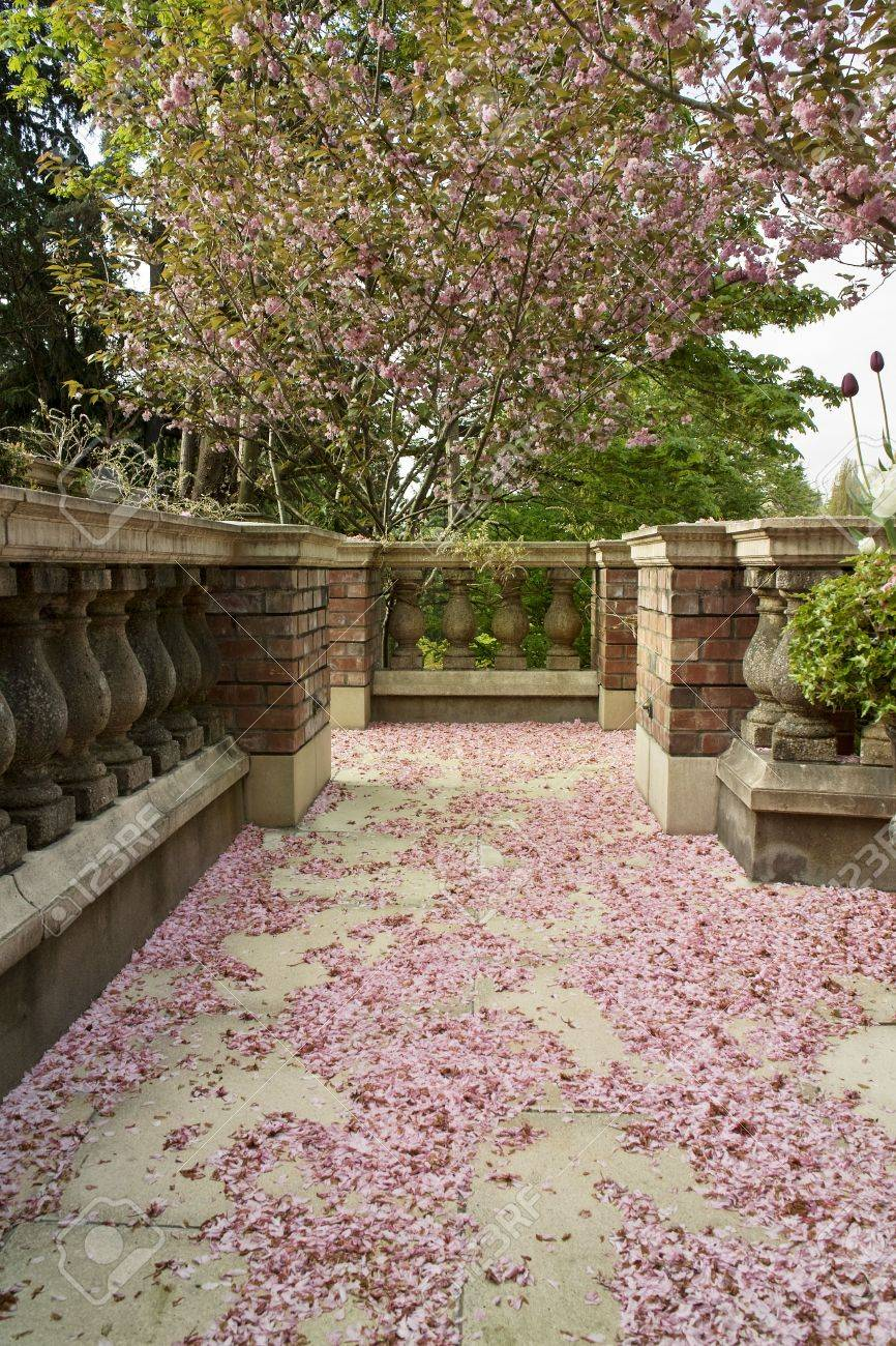 Spring Cherry Blossoms Cover The Ground In A Garden Walkway. Stock ...