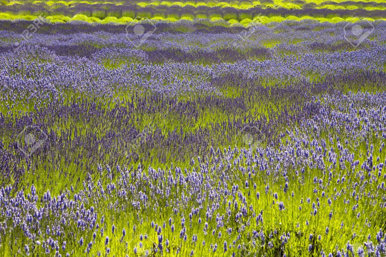 An Organic Lavender Farm Full Of Plants That Need To Be Harvested