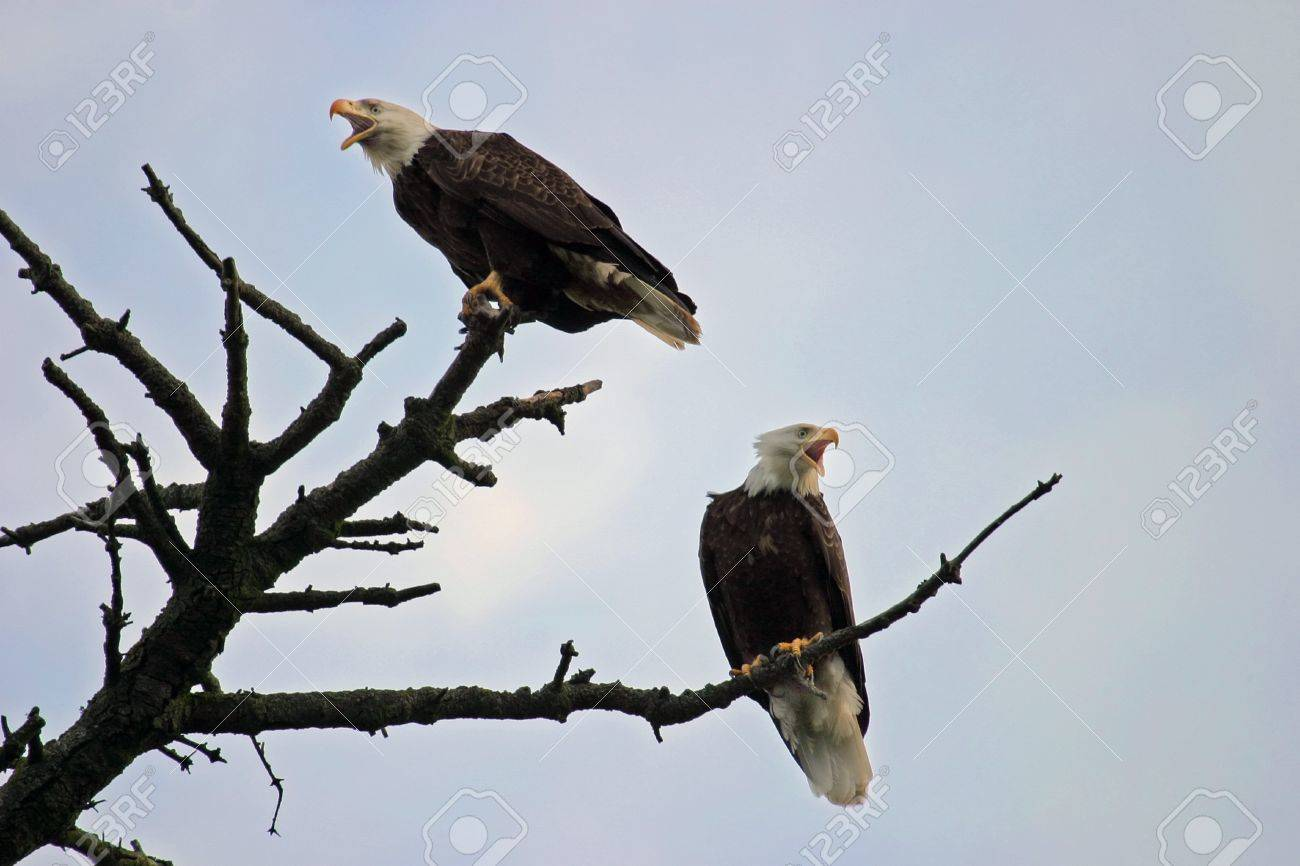 Two american bald eagles are perched on the top branches of a two american bald eagles are perched on the top branches of a tree and profiled against biocorpaavc